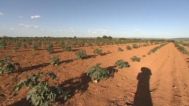 Convênio agrícola contribuirá na produção de mamona de mil famílias na região da Chapada - Por ano são produzidos cerca de 500kg por hectare.