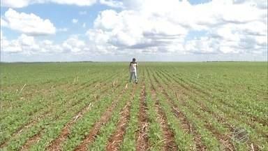 MS conclui o plantio da safra de soja - Foram semeados mais de 2,8 milhões de hectares.