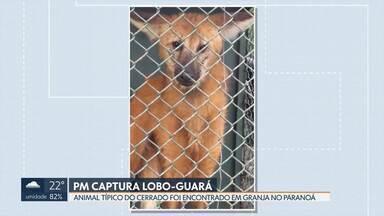 Polícia Ambiental captura lobo-guará no Paranoá - Fêmea de lobo-guará foi vista em uma granja da região. O animal, que não estava machucado, foi devolvido a uma área preservada do Cerrado.