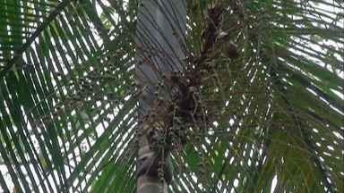 Projeto em Mogi busca retirar palmeira juçara da lista de plantas ameaçadas de extinção - Os frutos dela são importantes para pássaros e outros animais, mas por conta da extração do palmito, que é proibida por lei, a espécie está ameaçada de extinção.