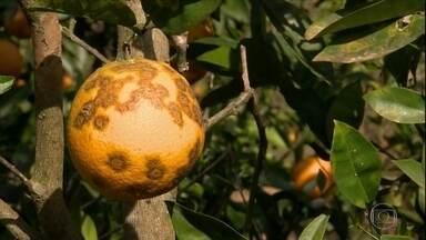 Como tratar manchas na laranja - Confira as dicas do especialista.
