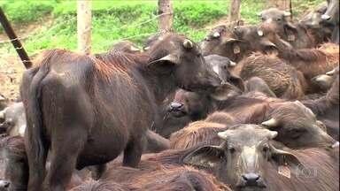 Globo Rural – Edição de 02/12/2018 - O Globo Rural está a caminho da edição 2000 e estreia cenário novo. Programa destaca a criação de búfalos no Vale do Ribeira e flagrantes de desmatamento na floresta amazônica.