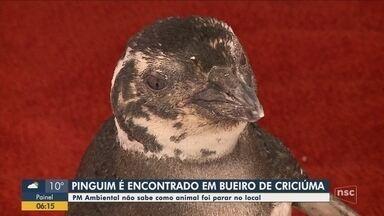Pinguim é resgatado de bueiro em Criciúma - Pinguim é resgatado de bueiro em Criciúma