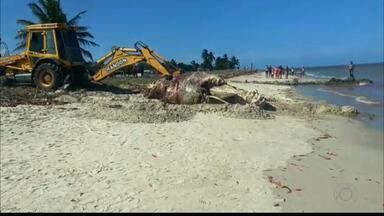 Baleia é encontrada morta na praia de Costinha, em Lucena - A baleia já estava em estado de decomposição e foi enterrada por equipes da prefeitura da cidade. A causa da morte é desconhecida.