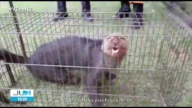 Gato Mourisco é resgatado de refinaria da Hydro em Barcarena, no Pará - O animal foi resgatado por agentes da Polícia Ambiental do município.