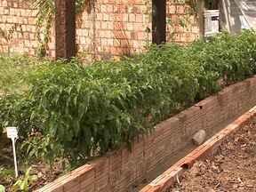 Projeto de horta comunitária quer ampliar a renda familiar - Projeto trabalha com o plantio e venda de hortaliças