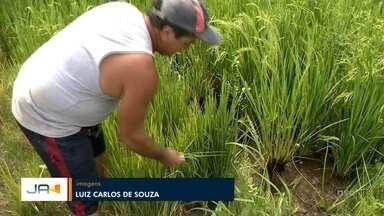 Falta de água para abastecer arrozais compromete produção em Camboriú - Falta de água para abastecer arrozais compromete produção em Camboriú