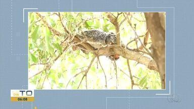 Porco espinho é resgatado em árvore no centro de Palmas - Porco espinho é resgatado em árvore no centro de Palmas