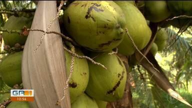 Produtores de coco do Vale do São Francisco estão animados com as vendas durante o verão - Nessa época, o consumo do fruto aumenta.