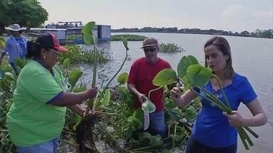 Planta aquática vira artesanato no Pantanal - Famílias são beneficiadas com o artesanato feito com a fibra do Camalote.
