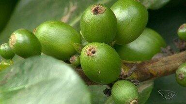 Produtores de café conilon enfrentam problemas com pragas, ES - Especialista explica o que fazer para impedir a broca do café.