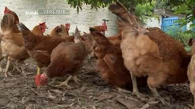 Conheça um modelo sustentável para criação de galinhas e ovos caipiras em São Luís - O trabalho foi desenvolvido pelo professor Antonio Tomaz e pode aumentar a renda de agricultores familiares.