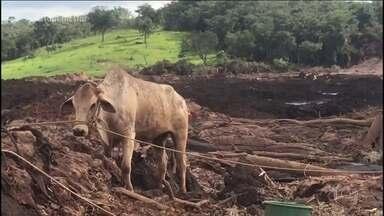 Veja o resgate de um touro em Brumadinho - Foi necessário um dia inteiro para o resgate acontecer. Empacado no mar de lama, o touro, que pesa mais de 500kg, precisou ser anestesiado.