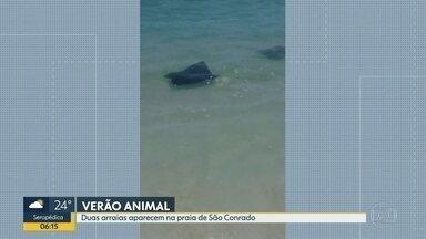 Banhistas flagram arraias na praia de São Conrado - Animais estavam próximos à areia. Especialistas dizem que arraias não são perigosas, desde que não se sintam ameaçadas.