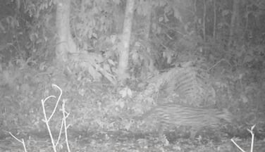 Jaguatirica também foi flagrada na mata - Gato-mourisco, cuícas, queixadas (porco-do-mato) e antas foram registradas pelas armadilhas fotográficas.
