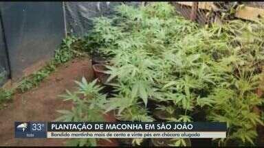 Polícia Militar apreende 124 pés de maconha em São João da Boa Vista - Plantação foi encontrada numa chácara alugada no bairro Solário do Mantiqueira. O homem foi preso e levado para a cadeia da cidade.