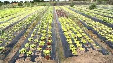 Agricultor da zona rural de Arapiraca usa técnica de cobertura de solo inovadora na região - Técnica utilizada é conhecida como Malchin.
