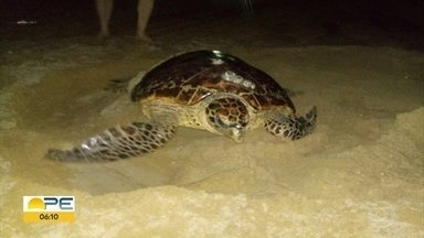 Tartaruga é flagrada colocando ovos na Praia de Piedade - Animal, da espécie Tartaruga De Pente, está ameaçado de extinção. Oito ninhos são monitorados na mesma praia.
