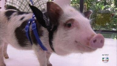 Ana Maria Braga recebe a visita de um porco e uma minipig na Casa de Cristal - Apresentadora faz alerta para quem quer comprar um porquinho miniatura e mostra exemplo de Maria Eugênia, que comprou o bichinho de estimação e descobriu que ele não ficaria tão pequeno quanto prometido