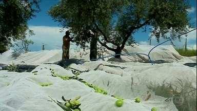 É época da colheita de azeitona no Rio Grande do Sul - O Estado é o maior produtor de azeite do país.