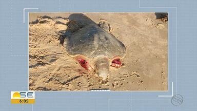 Tartarugas são atacadas por cães em praias de de Sergipe - Tartarugas são atacadas por cães em praias de de Sergipe.