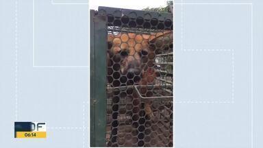 Lobo-guará é resgatado em Águas Lindas - Moradores chamaram a Polícia Militar Ambiental porque o lobo estava comendo e matando galinhas da região. Ele foi para o Centro de Triagem do Ibama.