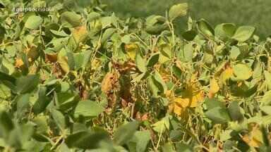 Produtores de soja registram perdas na plantação após período de seca - Assista ao vídeo.