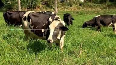 Pastejo rotacionado faz a produção de leite dobrar no ES - Em Alfredo Chaves são 145 pecuaristas que adotaram o sistema.