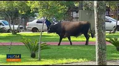 Boi é flagrado andando pelo centro de Ponta Grossa - O animal foi recolhido. Se o dono do animal não aparecer, ele será doado.