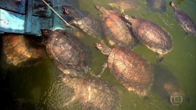 Associação em Alter do Chão ajuda a preservar as tartarugas da Amazônia - Os criadores de peixes da comunidade de Coroca cuidam da espécie que quase desapareceu na região.