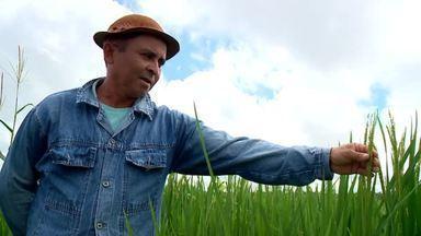 Chuvas regulares contribuem para grande safra de milho em Água Branca - Chuvas regulares contribuem para grande safra de milho em Água Branca
