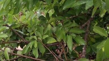 Inter TV Rural explica como se proteger de pragas sem afetar plantações e pomares - Especialista dá dicas para combater Brocas.