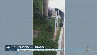 Bombeiros capturam capivara no Centro de Campinas - Animal estava na Rua Ferreira Penteado com a Irmã Serafina, no Centro da cidade, na tarde desta terça-feira (23).