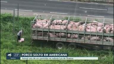 Porco pula de caminhão e precisa ser resgatado em rodovia de Americana - Vídeo mostra resgate de porco que pulou de caminhão em rodovia de Americana (SP).