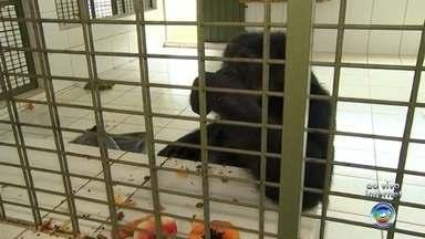 Chimpanzé Black passa a primeira manhã no Santuário dos Grandes Primatas em Sorocaba - O chimpanzé Black, que foi transferido do Parque Zoológico Municipal de Sorocaba (SP) após uma determinação judicial, passou a primeira noite no Santuário dos Grandes Primatas, nesta segunda-feira (6).