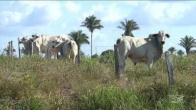 Primeira etapa da vacinação contra a febre aftosa é realizada no Maranhão - De acordo com a Agência Estadual de Defesa Agropecuária (Aged) a meta é imunizar mais de oito milhões de bovinos e bubalinos em todo o estado.
