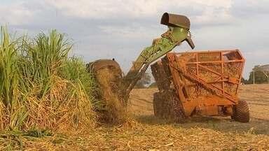 Safra de cana deve manter mesmo volume da anterior - Produtividade aumentou, mas área destinada à colheita ficou menor.