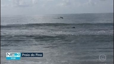 Golfinhos saltando no mar chamam atenção de banhistas na Praia do Pina - Segundo o Projeto Golfinho Rotador, esses animais são conhecidos como botos cinzas.