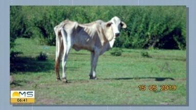 Criador de gado é multado em R$ 145 mil por maus-tratos - Policiais militares ambientais encontraram cerca de 270 cabeças de gado numa área de pastagem degradada. Os animais estavam debilitados, alguns não conseguiam levantar e 17 estavam mortos por desnutrição.
