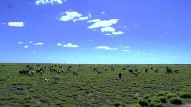 Criadores comemoram o aumento na procura de carnes de ovinos na Bahia - Produtores estão investindo no crescimento do rebanho.