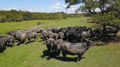 O trabalho de vacinação contra aftosa em Bubalinos - Em Mato Grosso o rebanho de búfalos é de 15.381 animais. Na fazenda São João Da Barra que fica no município de Jangada 110 cabeças serão vacinadas nessa etapa da campanha.