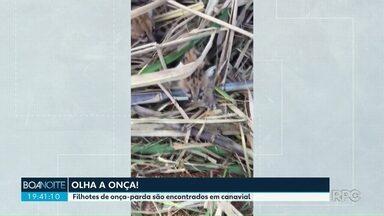 Filhotes de onça são encontrados no meio do canavial - Polícia Ambiental soltou os filhotes em local isolado