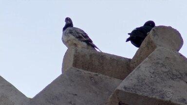 Padre de Jaú usa som do grito de gavião para espantar pombos da Igreja Matriz - Um padre de Jaú (SP) usa os alto-falantes de sua igreja para reproduzir o grito de gavião para espantar pombos da região.