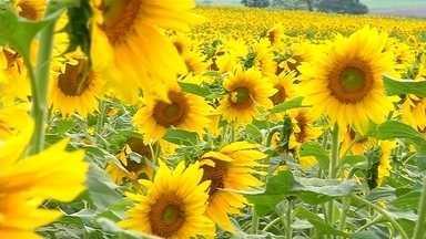 Produtores paulistas investem no plantio de girassol - Flor é uma das opções de cultivo na safra de inverno.