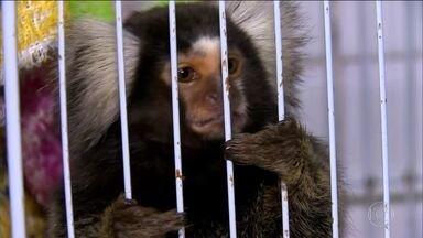 Operação da PF e Ibama resgata animais silvestres - Eles passarão por tratamento e depois vão ser devolvido à natureza. Dez pessoas foram presas.