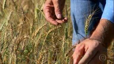Ataque de doença derruba a produção do trigo 2ª safra no Cerrado - Excesso de chuva estimulou a presença de brusone, doença que deve gerar, segundo a Embrapa, uma quebra de produção de até 70% na região.