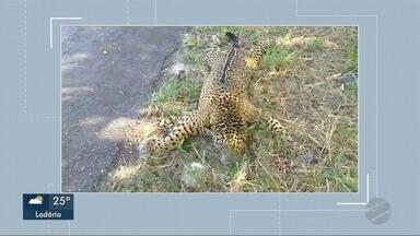 Onça é encontrada morta às margens da BR 262 - PMA que investiga as causas da morte do felino não encontrou a carcaça do animal