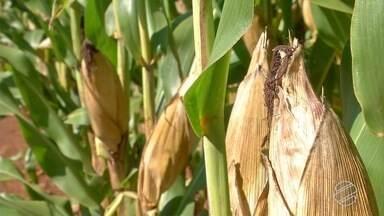 MS deve registrar maior produção de milho de sua história - Produção da safrinha deve ultrapassar as 10 milhões de toneladas