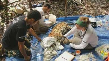 Mamirauá: Cientistas estudam comportamento da onça na floresta Amazônica - Pesquisadores montam armadilhas na floresta para capturar felino.