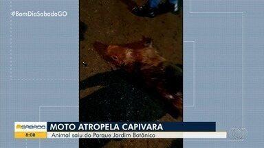 Capivara morre após ser atropelada em Goiânia - Acidente aconteceu no Setor Pedro Ludovico.